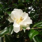 白い椿の緑の葉っぱは雨に濡れているように艶やかでした。       ・濡れてゐるやうな椿の艶やかさ(和良)