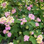 藍住町を散歩すると新築の庭にランタナの花が咲いていました。 ・ランタナの花美しき新築に(和良)
