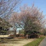 皇居東御苑で見た冬桜です。満開でしたが寂しい感じがしました。  ・振り返り見ても寂しき冬桜 (和良)