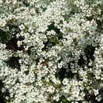白い花が犇めくように咲く雪柳はまぶしいほどでした。         ・犇めける白のまぶしき雪柳(和良)