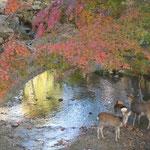 冬紅葉の美しい奈良公園では野生の鹿がたくさん群れていました。 ・紅葉映ゆ川に親鹿小鹿かな(和良)