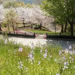 とくしま植物園の市民の森では桜の近くに文字摺草も咲いていました。  ・桜散る園に文字摺群れ咲きて(和良)