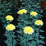 新宿御苑の菊花壇展ではどの菊も初日から満開でした。         ・初日より満開御苑の菊花展(和良)