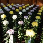 新宿御苑の大菊花壇には満開に咲き揃った菊が綺麗に並んでいました。  ・二分咲きも五分咲きもなき菊花展(和良)