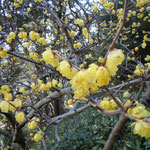 文化の森の臘梅は石段沿いに植えられていました。                                   ・臘梅の通り過ぎての香りかな(和良)