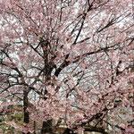 原田家住宅の蜂須賀桜には目白がたくさん来ていました。  ・鈴生りのやうに目白の来る桜(和良)