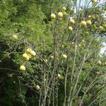 香川県の満濃池で花梨を見ました。空海が伝えたものといわれます。  ・花梨の実どすんと落ちて里静か(和良)