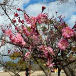 文化の森の山頂広場には紅梅が咲き競っていました。                 ・折れ曲がり節多き枝濃紅梅(和良)