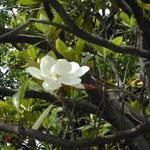 皇居東御苑では泰山木の花を見ることもできました。 ・梢ほど泰山木の花真白(和良)