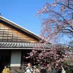 武家屋敷を開放した蜂須賀桜のお花見会には大勢の人が来ていました。  ・蜂須賀の世より伝へて初桜(和良)