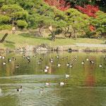 旧芝離宮恩賜公園には鴨がたくさん来ていました。                    ・紅葉の水面に鴨の水尾かな(和良)