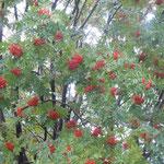 美瑛町白金温泉で見たななかまどです。真っ赤な実を一杯つけていました。                    ・ななかまど満艦飾の赤であり(和良)