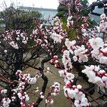 徳島城公園の御殿庭では臥竜梅が咲き満ちていました。  ・梅の白際立ててゐる幹の黒(和良)