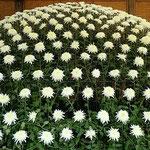 大作り花壇の裾野の月と名付けられた大菊は489輪の花を付けていました。 ・大作り花壇の菊の見て飽きず(和良)