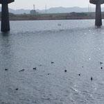吉野川の六条大橋の下で水鳥を見ました。大鷭や鴨、鳰がいました。      ・大鷭よ鴨よと見れば鳰も来て(和良)