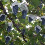 山梨県の勝沼では葡萄棚に葡萄を実らせて葡萄を売っていました。                          ・店先に葡萄実らせ葡萄売る(和良)