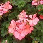 葵の花の赤い色は葵の葉の緑に一層際立って見えました。 ・葉の緑葵の花の赤極め(和良)