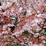 雨の日の原田家住宅の蜂須賀桜は紅の色をいよいよ濃くしていました。  ・上品なピンク蜂須賀桜らし(和良)