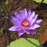 大塚国際美術館ではモネの愛したという青色の睡蓮が咲いていました。  ・睡蓮の咲きて明るきモネの池(和良)