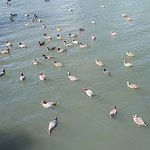 たくさんの鴨に紛れて大鷭も餌を奪い合っていました。  ・大鷭の鴨に紛れて餌を漁る(和良)