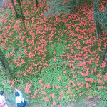 巾着田曼珠沙華公園は陸橋から展望することもできました。       ・曼珠沙華林の中をそぞろ行く(和良)