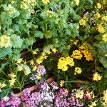 阿波おどり会館の玄関ロビーには菜の花が活けられていました。          ・菜の花を活けて明るきロビーかな(和良)
