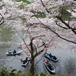 千鳥ヶ淵にはたくさんのボートも出て桜を見ていました。           ・花仰ぐボートの二人寄り添ひて(和良)