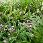 東御苑の菖蒲園の隣の池の道端で見つけた紫蘭です。          ・紫蘭咲く御苑の池の一隅に(和良)