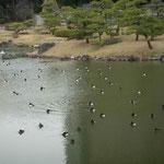 東京の芝離宮で見た金黒羽白です。気持ちよさそうに昼寝していました。  ・都会にも静寂ありけり浮寝鳥(和良)