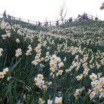 灘黒岩水仙郷の遊歩道を登った展望台からは沼島が眺望できました。   ・水仙の五百万本咲ける崖(和良)