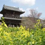 吉野川市土成町の熊谷寺の山門周辺には菜の花が咲き競っていました。  ・山門を押し上げてゐる花菜畑(和良)