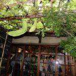 根岸子規庵は開館するやいなや子規を偲ぶ人々で一杯になりました。    ・糸瓜咲き満つ子規庵に来合せて(和良)