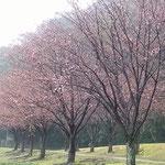徳島城公園の助任川南岸では蜂須賀桜が二分咲になっていました。 ・二分咲いて赤き蜂須賀桜かな(和良)
