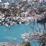 吉野川オアシスサービスエリアの美濃田の淵の桜も満開でした。     ・水青き美濃田の淵の桜かな(和良)