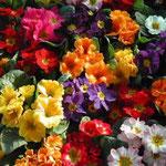 鳴門市の農村市で見た室の花です。そこだけ輝いていました。 ・ここだけに日差し集めて室の花 (和良)