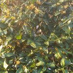 我が家の金木犀は朝日を浴びて強い香りを漂わせていました。 ・朝からの金木犀の香りかな(和良)