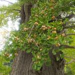 幹の折れた大木の鈴生りの銀杏は誰も見ていませんでした。 ・鈴生りの銀杏なるに誰も見ず(和良)
