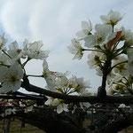 藍住町の梨畑では棚一面に梨の花が咲き競っていました。 ・曇りゐる空に真白や梨の花(和良)
