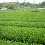 静岡県磐田市の茶山です。生憎の雨で茶摘はお休みでした。  ・雨の日の茶山に人の影もなし(和良)
