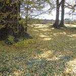 大きな銀杏の木から散った落ち葉が庭中に重なり合っていました。              ・銀杏散る十重に二十重に敷き詰めて(和良)