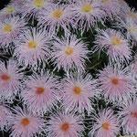 高知市の牧野植物園で菊花展をしていました。素晴らしい菊ばかりでした。                    ・高貴とは牧野植物園の菊(和良)