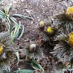 ほころび始めた福寿草の黄色い花は瑞々しかったです。         ・ほころべる黄のみづみづし福寿草(和良)