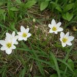 我が家の隣の空き地に誰かが植えたわけでもないのに玉簾が咲いていました。  ・今年また隣は空き地玉簾(和良)
