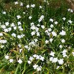 徳島市中央公園の城山で見た著莪の花です。              ・城山の裾に真白き著莪畳(和良)