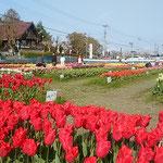 北島町のチューリップ畑には今年も大勢の人が来ていました。      ・輝いて並ぶ原色チューリップ(和良)