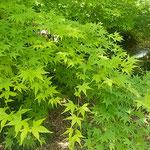 新宿御苑の藤の花の隣で青楓が風にそよいでいました。         ・青楓さ揺らす風のありにけり(和良)