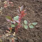 徳島城公園の薔薇園で見た薔薇の芽です。もう棘が出来ていました。  ・薔薇の芽に棘の出来てをりにけり (和良)