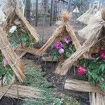 上野東照宮の冬牡丹祭では寒牡丹の株毎に藁囲いされていました。     ・藁囲されて可愛ゆき寒牡丹(和良)