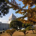 国会議事堂前の庭に植えられた銀杏も散り始めていました。                              ・デモの声囲む国会銀杏散る(和良)