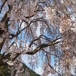 神山温泉前のしだれ桜は青空に映えていました。   ・青空にしだれ桜の白さかな(和良)